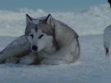 приятное видео про волков, до слез! Обязательно посмотри!